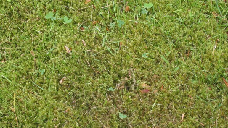 Как избавиться от мха на газоне